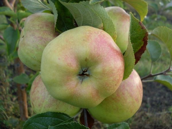 apple_bogatyr